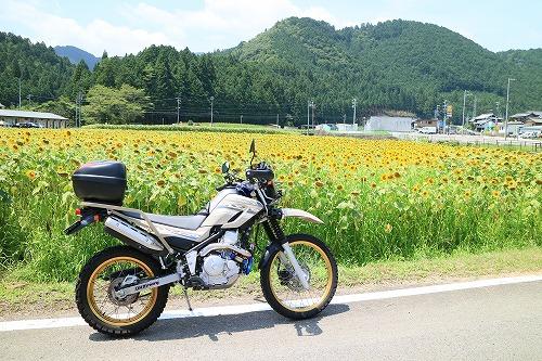 sunflower004.jpg